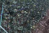 梨の苗木栽培