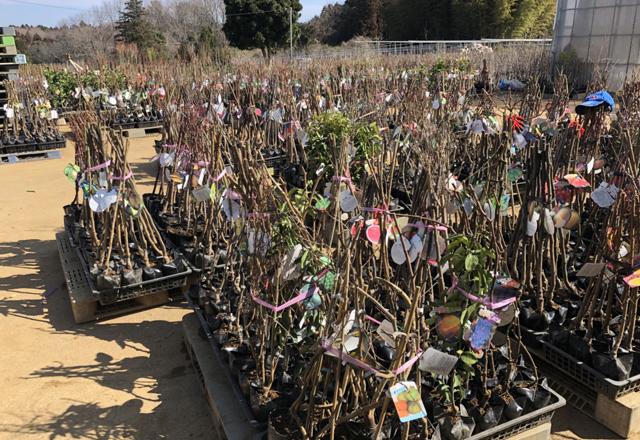 萩原園の苗木、まもなく販売