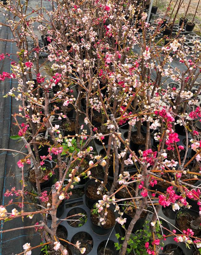 源平枝垂れ桃の苗木